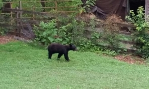 More bear sightings in Travelers Rest, SCDNR tips and reporting link here